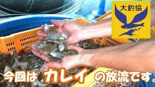カレイ 2万匹放流 大阪湾の海を考えよう 稚魚放流事業 海を綺麗に 大阪府釣り団体協議会