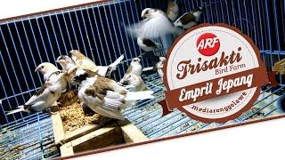BIRD PLANET : Mengenal Emprit Jepang Di Trisakti Bird Farm (Lonchura Striata Domestica)