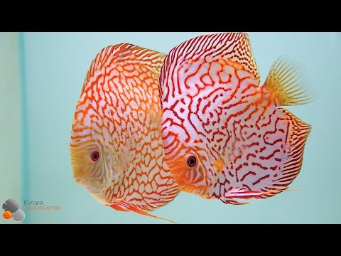 Checkerboard Discus Breeding Pairs