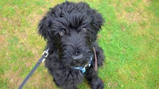 Bobby - Russian Black Terrier Puppy - 4 Weeks Residential Dog Training