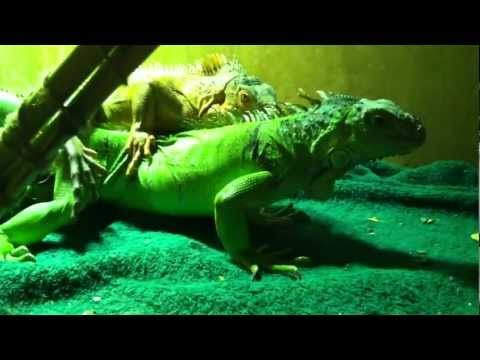 Billy and Lola mating ( breeding iguanas )