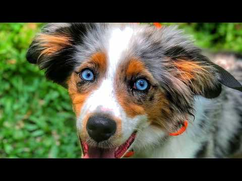 "5 Month Old Mini Australian Shepherd ""Finn"" 