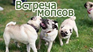 Встреча мопсов в Москве 18-19 июля. Мопсы играют, бегают // Pugs meeting