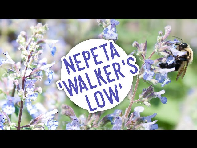 Plant of the Week: Nepeta 'Walker's Low'