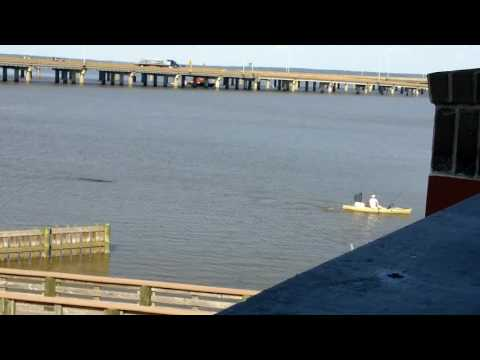 Angry Alligator Chases a Kayaker in Mobile Bay, Alabama