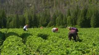 Camel's Back Harvest U-Pick Strawberries on Shaw TV