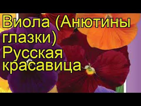 Виола гибридная Русская красавица. Краткий обзор, описание характеристик, где купить семена