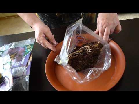 Лилейники, как сохранить до посадки в грунт.