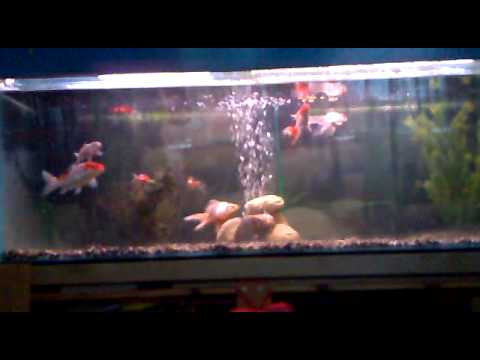 Koi carp tank grade a koi shubunkin and fancy goldfish for Koi carp tank