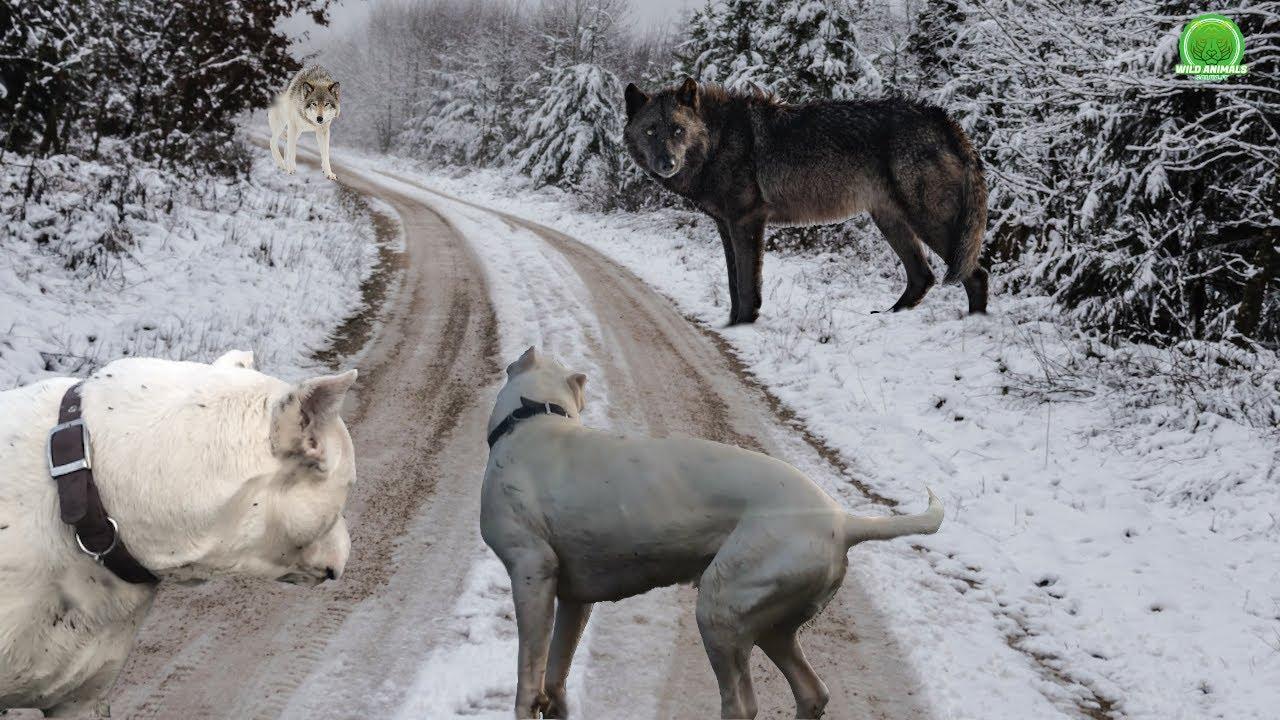 DOGO ARGENTINO vs LOBO 70 KG ¿REALIDAD O MITO? ¿QUIÉN GANA ESTE COMBATE?(BIG WOLVES VS DOGS WHO WIN)