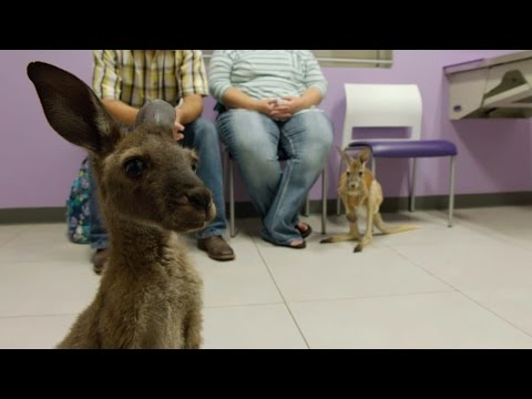 Look What's Hopped Into The Vet's Office! Two Kangaroos... In Diapers!