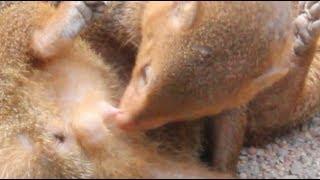 Mongoose Love making Close Up.