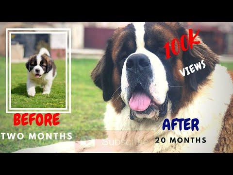 Saint Bernard Puppy Growing Up . 2 To 20 Months