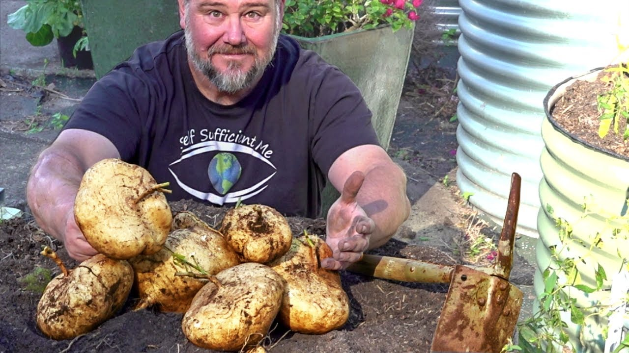 5 Tips How to Grow a Ton of Jicama in One Container or Raised Garden Bed