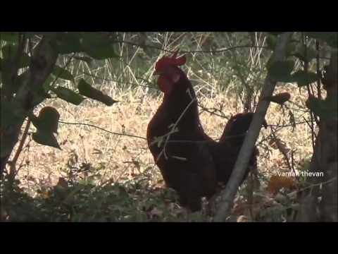 Noisy rooster village in sri lanka