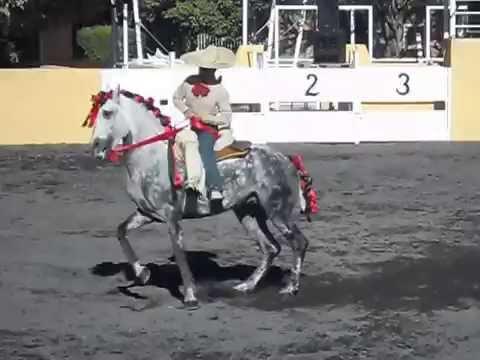 Aztec Stallion Chico Malo (Bad Boy) Mexican Dancing Horse