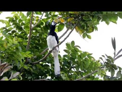 The call of an Oriental Pied-Hornbill (1080p)