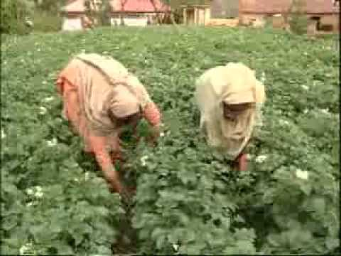 Seed Potato Production (from field preparation to vesting) – India