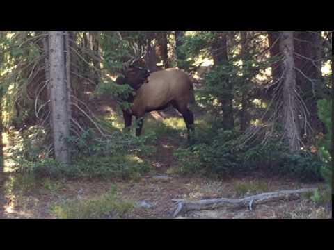 Elk bugling in Yellowstone