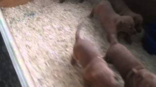 Red Fox Lab Puppies For Sale In Pa