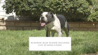 BULLDOG ALAPAHA BLUE BLOOD THE OLD SOUTHERN FARM DOG