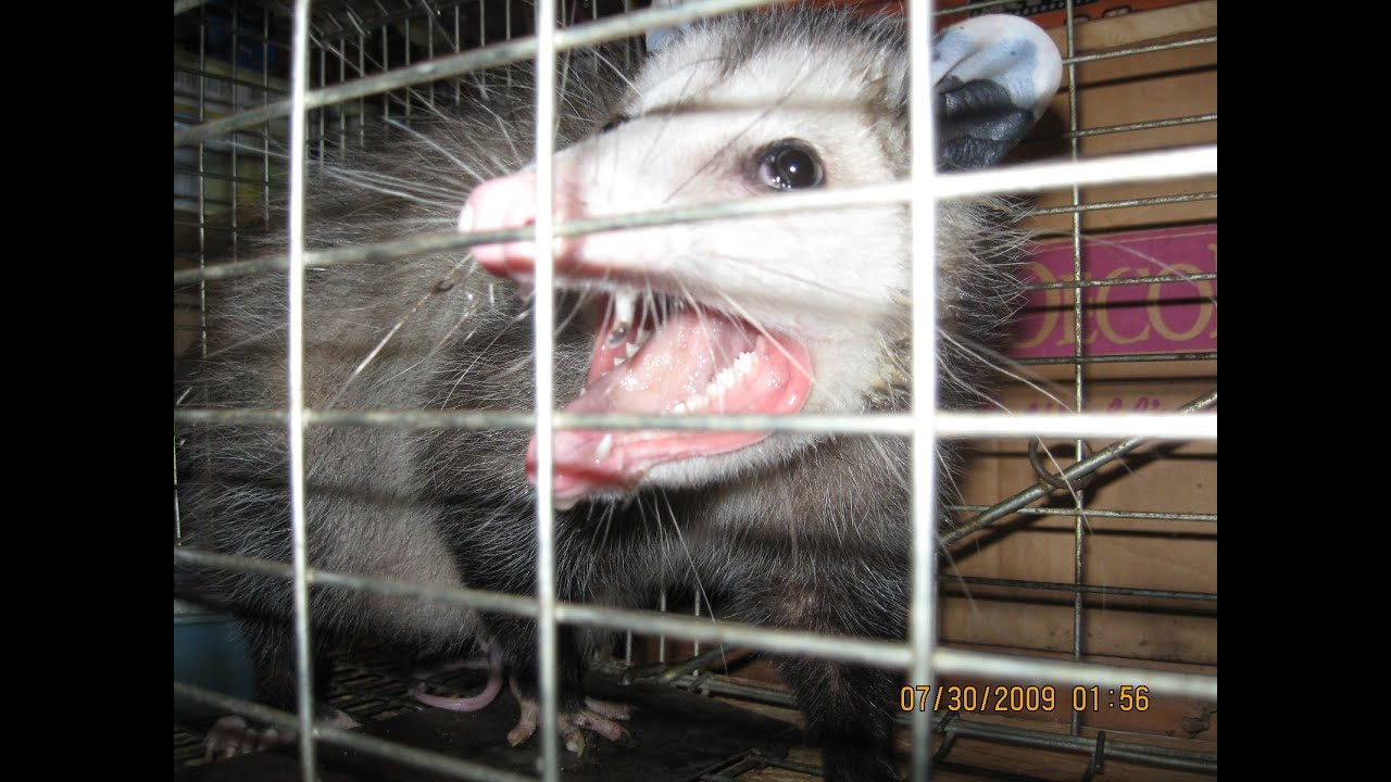 big possum trapped in the garage youtube