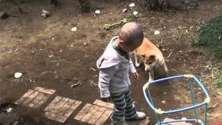 3歳児が偉そうに「そう!」と柴犬を躾ます。 小春(生後4ヶ月)