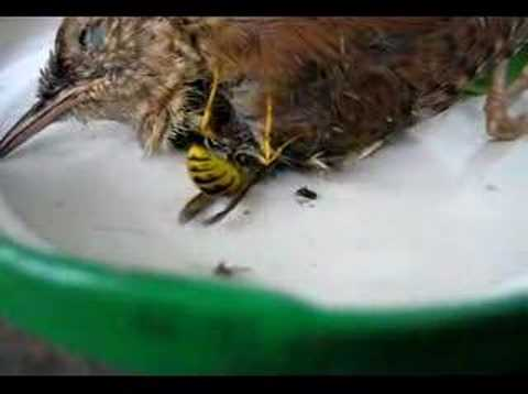 Wespe Zerschneidet Vogel Filmed By Ute Scott Youtube