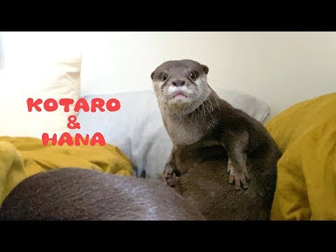 Otter Kotaro&Hana Stand Up and Hear The Fire Truck Siren from YouTube · Duration:  4 minutes 5 seconds