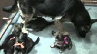 German Shepherd Malaysia-ga Litter