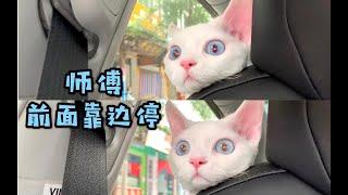 【德文卷毛猫】小猫咪坐车去哪儿呀