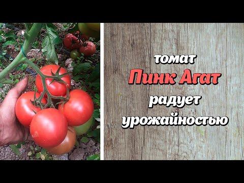 Пинк Агат радует своей урожайностью. Осенью ждём такой же хороший результат.
