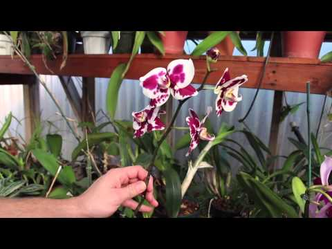 Raising Greenhouse Orchids ~ Eric Finley