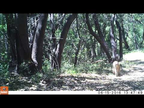 Possible New Male Mountain Lion on our Property!