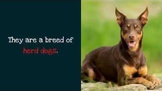 バイン - 面白 - あなたはオーストラリアのケルピー犬について知ってお...