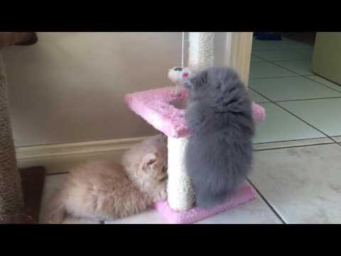 Gatitos Persa jugando