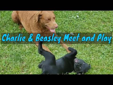 My 8 Week Old Black Labrador Puppy Beasley Playing With Charlie Chesapeake Bay Retriever Compilation