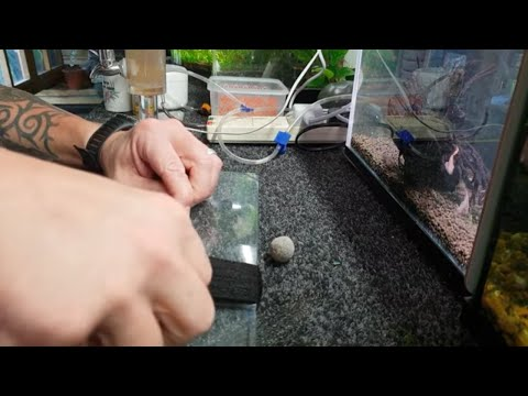 HOW TO BREED KILLIFISH. STEEL BLUE LYRETAIL.