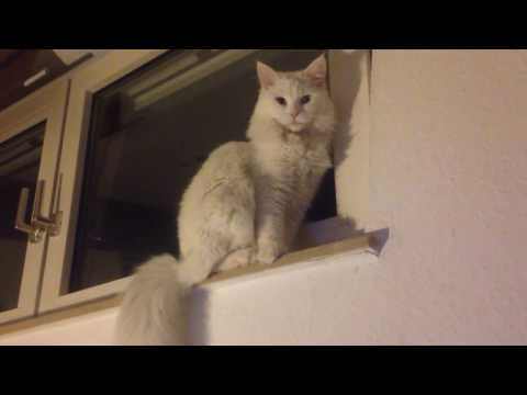 Maine Coon Cat Talking and Moonwalking