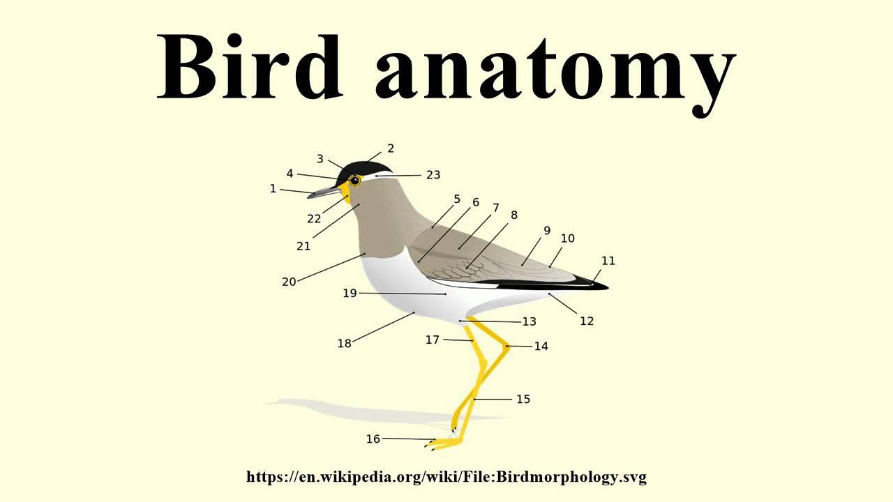 Bird anatomy - YouTube