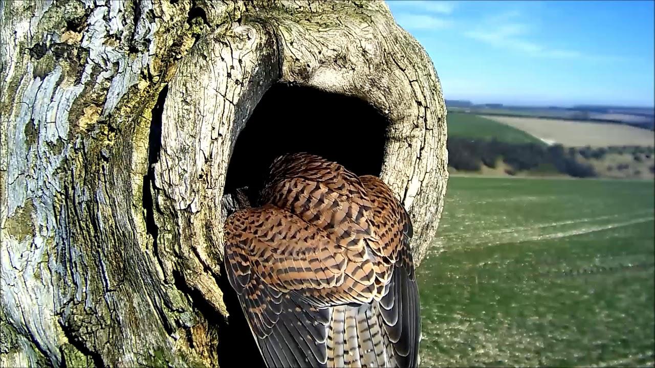 Kestrel & Barn Owl Nest Camera | 3 March 2019| Barn Owl v ...