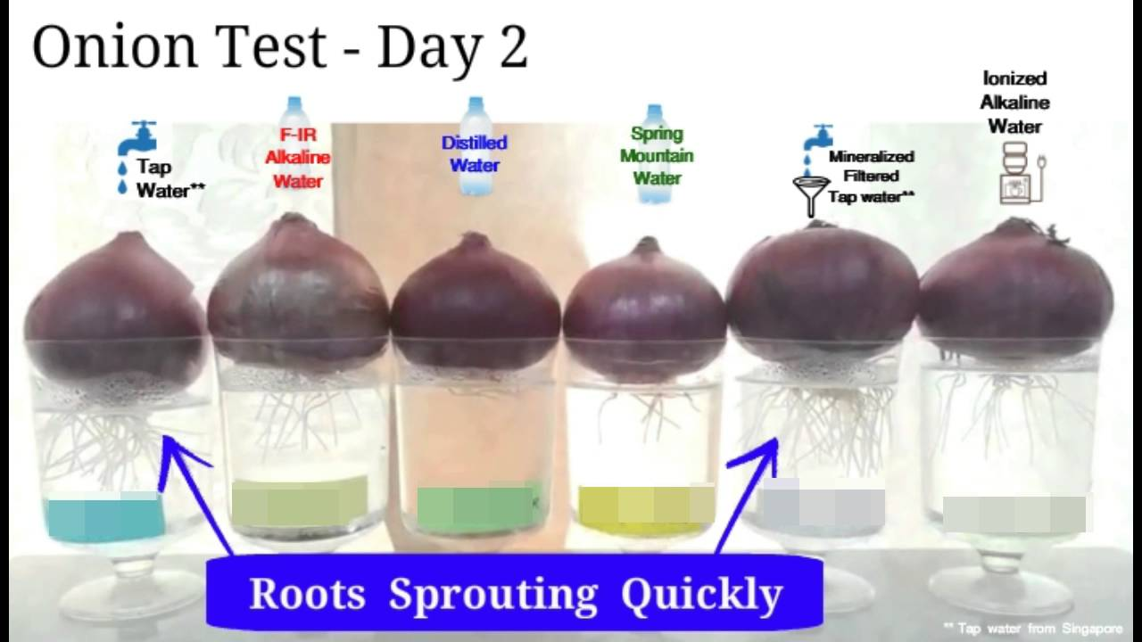 Onion Test With Mineralized Filtered Water Alkaline