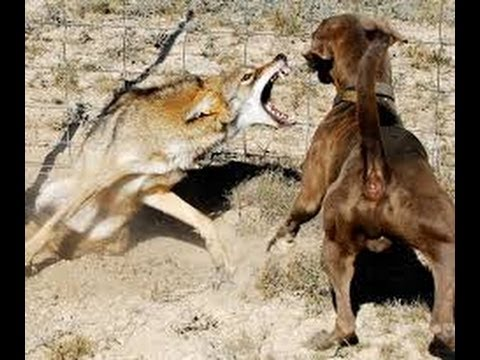 Coyote Attacks Dog And...