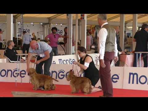 English cocker spaniel, club show, Ercolano, reds
