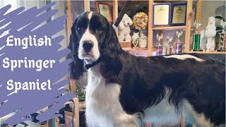 Let's Clean Up for the Dog Shows | English Springer Spaniel Hand Strip