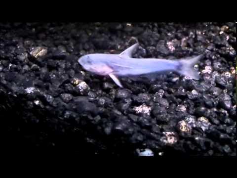 Blue Whale Catfish