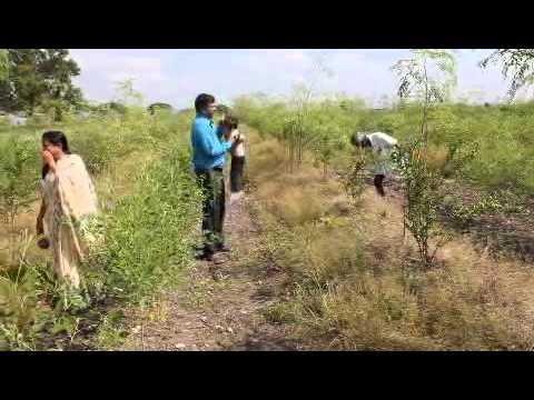 Pomegranate Farm of Veera Raghav Reddy, Bollavaram (V), Kallur (M), Kurnool Dt. Family Visiting