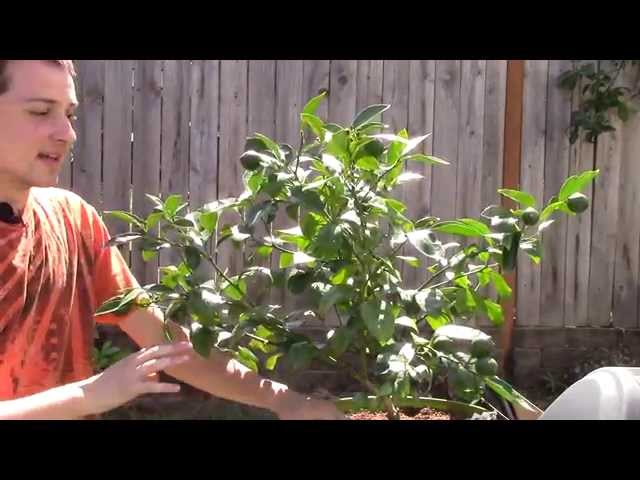 Meyer Lemon Tree info and Growing Tips!