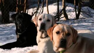 Labrador Retriever Puppies For Sale In Pa