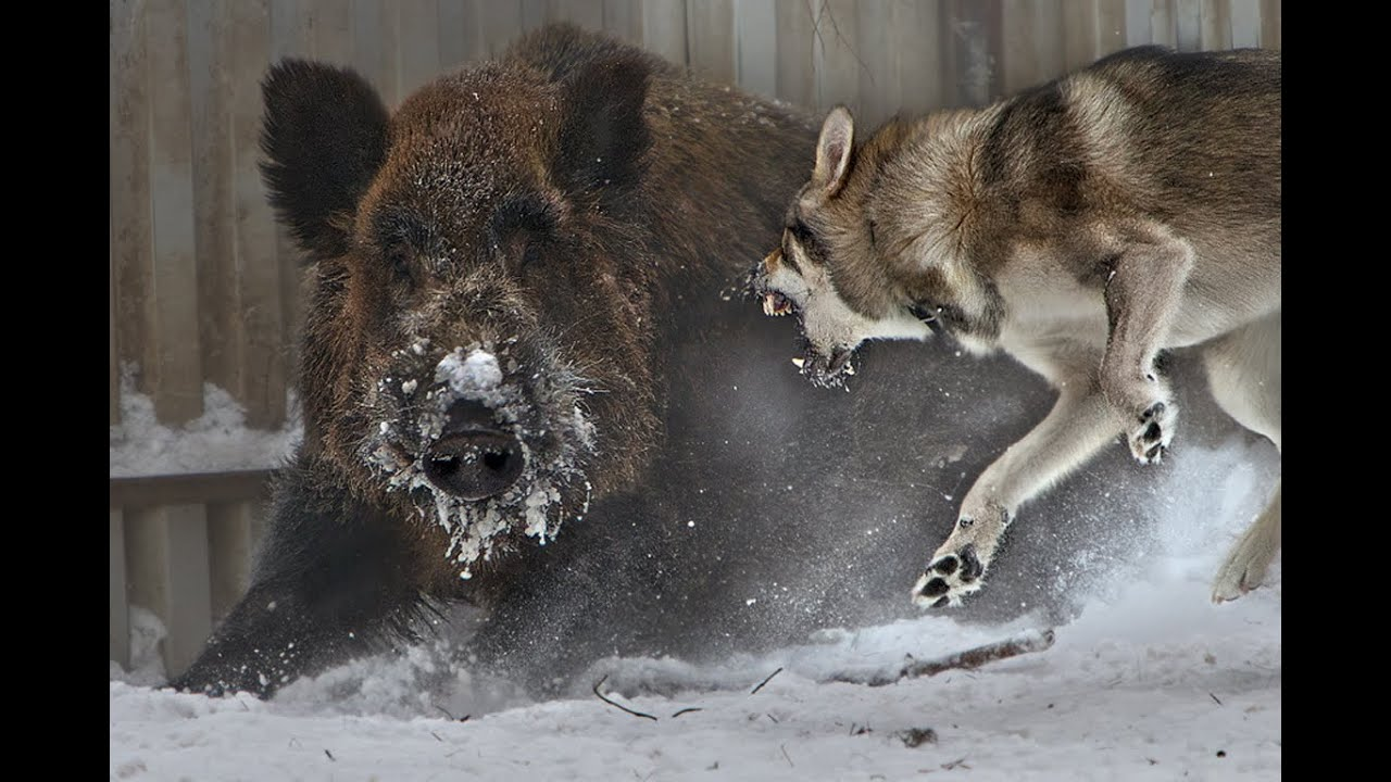 Best Hog Hunting Dogs Breeds - YouTube